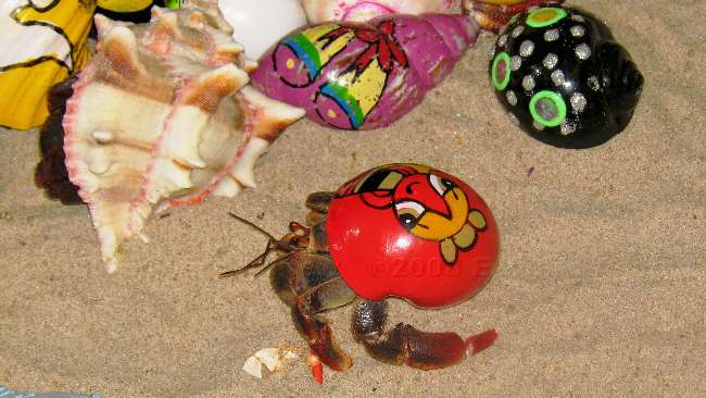 how to catch hermit crabs